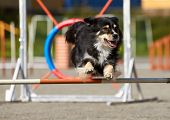Border Collie Jumping On An Agility Training Tire On A Dog Playground. poster