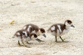 Egyptian Geese Goslings Walking On Sandy Soil Alone. Egyptian Geese Were Considered Sacred By The An poster