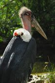 Marabout bird. Large African stork with a massive bill and large neck pouch poster