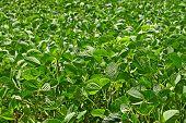 Green Soybean Field poster