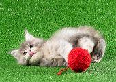 Cute Maine Coon Kitten Over Green Grass Background poster