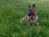 German Shepherd In The Grass. The Dog Is Lying On The Grass. German Shepherd Zonal Color. Animals In poster