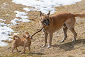Two Dogs, Rat Terrier And Malinois Belgian Sheepdog, Playing With Wooden Stick In Dry Grass Meadow.  poster