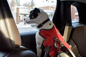 Dog Looking Out Window Of Car Inside, Pet Safety And Cute Dog In Car On Road Trip Wearing Seat Belt  poster