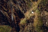 Atlantic Puffin Sitting On Cliff, Bird In Nesting Colony, Arctic Black And White Cute Bird With Colo poster