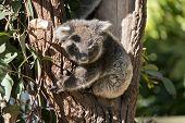 The Joey Koala Is Climbing Down A Eucalyptus Tree poster