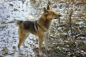 stock photo of laika  - This photo was taken in the foothills of the Kuznetsk Alatau - JPG