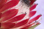 picture of fynbos  - Macro shot of pink Protea  - JPG