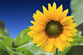 stock photo of green leaves  - this is beautiful sunflower with green leaves - JPG