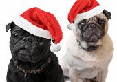 pic of christmas dog  - Black and Fawn colored Pugs with christmas santa claus hats on a white background focus on black dog - JPG