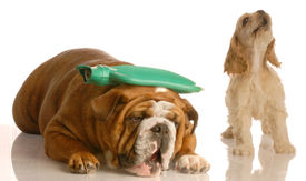 foto of hot water  - english bulldog with hot water bottle on head with cocker spaniel standing beside her howling  - JPG