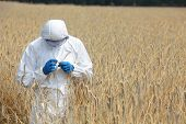 pic of genetic engineering  - biotechnology engineer on field examining ripe ears of grain - JPG