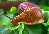 a slug in the garden eating a lettuce leaf. schneckenplage in the garden