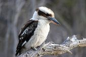 image of kookaburra  - Laughing Kookaburra - JPG