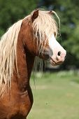 Portrait Of Welsh Mountain Pony Stallion On Pasturage
