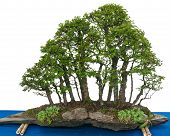 image of elm  - Forest with elm bonsai trees  - JPG
