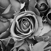 image of sympathy  - background of rose black and white effect - JPG