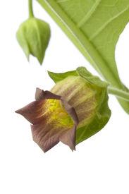 pic of belladonna  - Fresh Belladonna flower and bud on white background - JPG