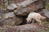 stock photo of lupus  - Blonde Wolf  - JPG