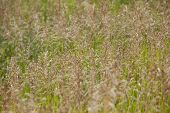 picture of tallgrass  - Smooth Bromegrass - JPG