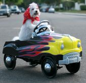 foto of blood drive  - Fifi the World Famous Bichon Frise Dog enjoys a day out riding around in her Pedal Car - JPG