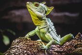 picture of lizards  - chameleon - JPG