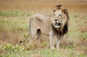 stock photo of apex  - Male Lion in the Wild - JPG
