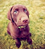 picture of chocolate lab  - a cute chocolate lab puppy sitting in the grass  - JPG