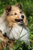 picture of sheltie  - Amazing sheltie smiling in the garden in summer - JPG