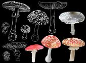 stock photo of agar  - illustration with fly agaric mushrooms isolated on black background - JPG