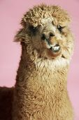 image of alpaca  - Closeup of an Alpaca against pink background - JPG