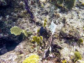 picture of damselfish  - Yellowtail damselfish swimming in a coral reef - JPG