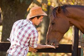 foto of feeding horse  - cowboy feeding a horse out of hand - JPG