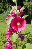 foto of hollyhock  - beautiful summer hollyhock alcea rosea flowers in old farm garden - JPG