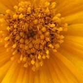 image of stamen  - Abstract texture of yellow flower with stamens and petals in summer - JPG