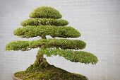stock photo of bonsai  - bonsai tree in flower pot in outdoor - JPG