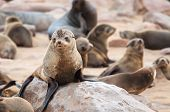 stock photo of blubber  - At acolony of Cape Fur Seals at Cape Cross on the Atlantic Ocean in Namibia - JPG