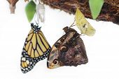 picture of cocoon  - Two butterflies are born from cocoons - JPG