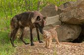 stock photo of lupus  - Black Wolf  - JPG