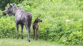 picture of calf cow  - Rain soaked moose cow and calf need to decide what way to go next - JPG