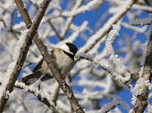 image of chickadee  - A chickadee enjoys some sunshine on a chilly day - JPG