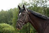picture of breed horse  - Black latvian breed horse portrait at the countryside in summer - JPG
