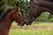 picture of mare foal  - Big black horse and small cute bay foal nuzzling each other - JPG
