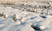 image of maize  - Rows of maize stubble in the snow on a cold and sunny winter day - JPG