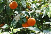 stock photo of tangerine-tree  - Tangerine tree with ripe fruits and flowers close - JPG