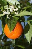 picture of tangerine-tree  - Ripe tangerines and flower on a tree close - JPG