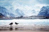 stock photo of lofoten  - birds and mountain peak on Lofoten beach in spring season - JPG