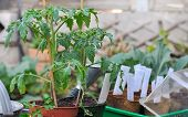 stock photo of tomato plant  - potted tomato plants in the garden with other seedlings - JPG