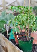 picture of tomato plant  - potted tomato plants in the vegetable garden - JPG