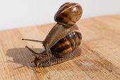 stock photo of crawling  - two snail crawl and play on the wooden table - JPG